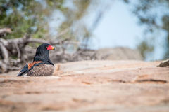 Bateleur standing on a koppie. Bateleur standing on a koppie in the Kruger National Park, South Africa stock photos