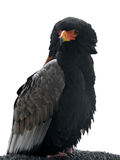 Bateleur - Terathopius-ecaudatus Stock Afbeelding
