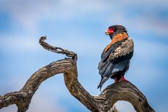 The bateleur Terathopius ecaudatus. Is a medium-sized eagle in the family Accipitridae. Its closest relatives are the snake eagles royalty free stock photography