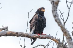 Bateleur, Terathopius ecaudatus, on a dead tree. A bateleur, Terathopius ecaudatus, on a dead tree in the Limpopo Province of South Africa stock photos