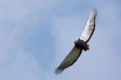 Bateleur - Terathopius ecaudatus Royalty Free Stock Photos