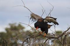 Bateleur - Terathopius ecaudatus. Bateleur Eagle using twigs for nesting stock image
