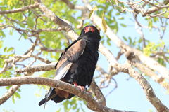 Bateleur Stock Photo