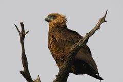 Bateleur (Terathopius ecaudatus). In Kruger National Park, South Africa royalty free stock photos