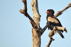 Bateleur (Terathopius ecaudatus). In Kruger National Park, South Africa stock image