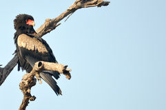 Bateleur (Terathopius ecaudatus) Royalty Free Stock Photography