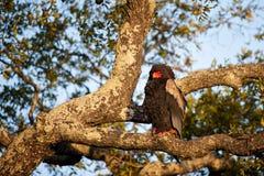 Bateleur (Terathopius ecaudatus). The bateleur (Terathopius ecaudatus) is a medium-sized eagle and belongs to the snake eagles. It is the Zimbabwe Bird, national Royalty Free Stock Photos