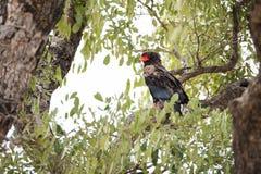 Bateleur. (Terathopius ecaudatus) perched in tree canopy, Okavango Delta, Botswana royalty free stock image