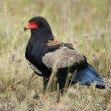 Bateleur, Terathopius ecaudatus, in Serengeti. National Park of Tanzania, Africa royalty free stock images