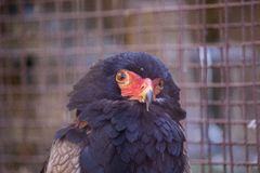 Bateleur Terathopius ecaudatus. Spotted outdoors in the wild royalty free stock images