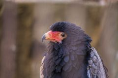 Bateleur Terathopius ecaudatus. Spotted outdoors in the wild royalty free stock photography