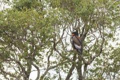 Bateluer Eagle em Masai Mara, Kenya imagens de stock royalty free