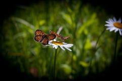 Baterflay lek, blommor, natur, sommar arkivfoto