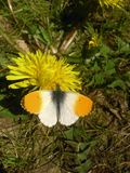 Baterfly nas flores Fotografia de Stock