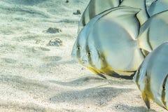 Batfish в ряд Стоковые Изображения