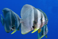 Batfish Stock Photos