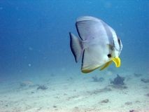 Batfish Fotos de Stock Royalty Free