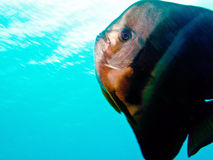 Batfish Image stock