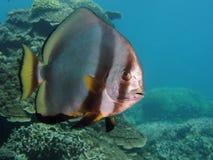 Batfish image libre de droits