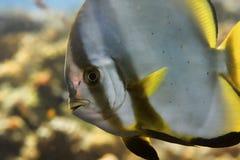 batfish Стоковая Фотография RF