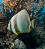 Batfish Royalty Free Stock Photos