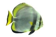 Batfish Foto de archivo