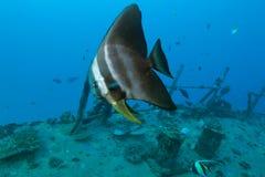 Batfish Stockbilder