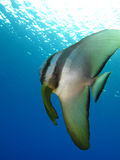 Batfish Stock Photography