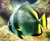 batfish 2 Royaltyfri Fotografi