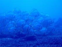 batfish Fotografering för Bildbyråer