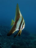 batfish Royaltyfri Bild