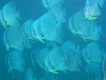 Batfish Royaltyfri Foto