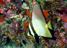 Batfish. A tropical batfish swimming on the reef underwater Royalty Free Stock Photo