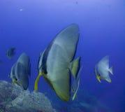 Batfish Arkivfoto