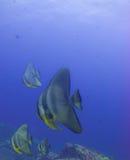 Batfish Image stock
