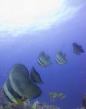 Batfish Arkivbild