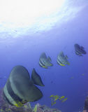 Batfish Photographie stock