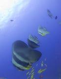 Batfish Photographie stock libre de droits