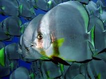 Batfish Royalty Free Stock Image