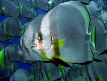 Batfish Royalty-vrije Stock Afbeelding