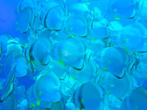 Batfish Imagens de Stock