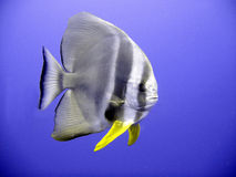 Batfish Royaltyfria Foton