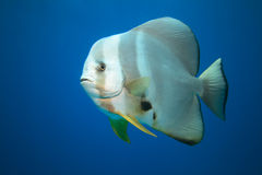 Batfish Royalty Free Stock Images