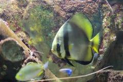 Batfish Zdjęcie Stock