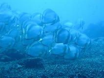 Batfish Blue. School of batfish in the blue Royalty Free Stock Photo