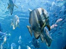 batfish cieniący Obraz Stock