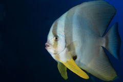 Batfish de Longfin Photos stock