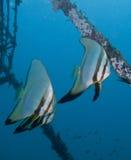 Batfish di nuoto fotografie stock libere da diritti