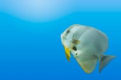 Batfish gradient blue background Royalty Free Stock Images