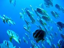 Batfish hierboven royalty-vrije stock foto's
